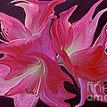 Liquid Amaryllis  by Paul W Faust -  Impressions of Light