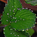 Liquid Pearls On Strawberry Leaves by Lisa Phillips