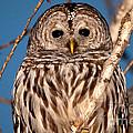 Lit Up Owl by Cheryl Baxter