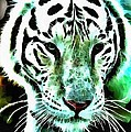 Lit White Tiger by Catherine Lott