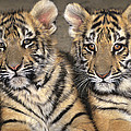 Little Angels Bengal Tigers Endangered Wildlife Rescue by Dave Welling