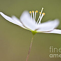 Little Arctic Starflower by Heiko Koehrer-Wagner