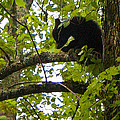 Little Bear Cub In Tree Cades Cove by Cynthia Woods