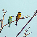 Little Bee-eaters by Tony Murtagh