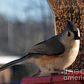 Little Gray Crested Titmouse Bird Ready For Lunch by Barb Dalton