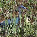 Little Blue Heron 3 by Photos By  Cassandra