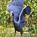 Little Blue Heron Blue by Carol Groenen