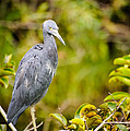Little Blue Heron by Charles Dobbs