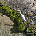 Little Blue Heron - Egretta Caerulea - White Morph by Allan  Hughes
