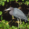 Little Blue Heron Florida by Tom Vezo