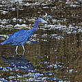 Little Blue Heron by Gary Hall