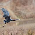 Little Blue Heron In Flight by Dale Kincaid