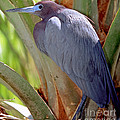 Little Blue Heron Male In Breeding by Millard H. Sharp