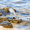 Little Blue Heron by Marilyn Holkham