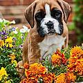 little Boxer Puppy in flowers by Doreen Zorn