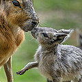 Little Cavy With Mother by Greg Nyquist