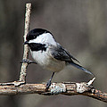 Little Chickadee 2 by John Crothers