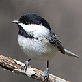 Little Chickadee 3 by John Crothers