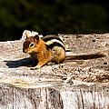 Little Chipmunk by Robert Bales