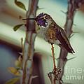 Little Costa's Hummingbird by Robert Bales