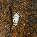 Little Dead Crab Under Water by Anastasia Konn