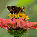 Little Glassywing Skipper Butterfly by Donna Brown