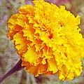 Little Golden  Marigold by Kay Novy