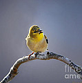 Little Goldfinch by Nava Thompson