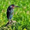 Little Green Heron by Chris Mercer