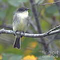 Little Lady Eastern Kingbird by Barb Dalton