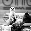 Little Meerkat by Pati Photography
