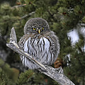 Little One - Northern Pygmy Owl by Elaine Haberland