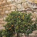 Little Orangetree by Lutz Baar