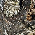 Little Owl 3 by Arterra Picture Library