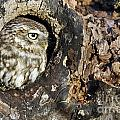 Little Owl 4 by Arterra Picture Library