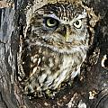 Little Owl 6 by Arterra Picture Library
