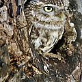 Little Owl In Hollow Tree by Arterra Picture Library