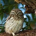 Little Owl by Paul Scoullar