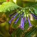Little Purple Bells by Hugh Mobley