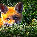 Little Red Fox by Bob Orsillo
