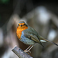 Little Robin by Anika Kanter