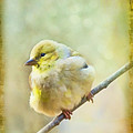 Little Softie Gold Finch - Digital Paint by Debbie Portwood