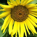 Little Sunshine by Christiane Schulze Art And Photography