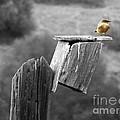 Little Yellow Bird by Robert Ball