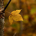 Little Yellow Leaf by Karen Harrison