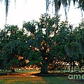 Live Oak Bathed In Evening Light by Xyldia Grace