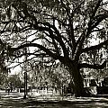 Live Oak by Carol Erikson