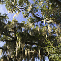 Live Oak Dripping With Spanish Moss by Dale Powell