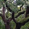 Live Oak Tree by Kathryn Meyer