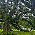 Live Oak Trees by Denise Mazzocco